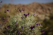 California desert blooms