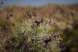 California desert blooms