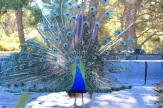 Peacock in Greece